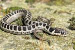 Thamnophis scalaris