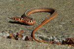 Thamnophis scalaris nk 2020, 3 weken oud