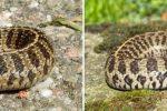 Thamnophis scaliger, baby en volwassen vrouwtje uit Toluca, Mexico
