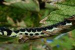 Geelkeel Kousenbandslang (Thamnophis pulchrilatus)