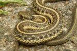 Noordwestelijke Kousenbandslangen (Thamnophis ordinoides)